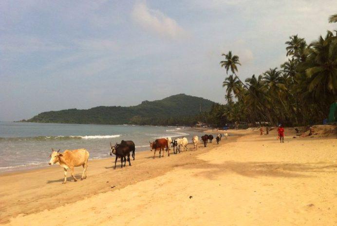 Goa-Hindistan (İnekler Görebileceğiniz Her Yerde)