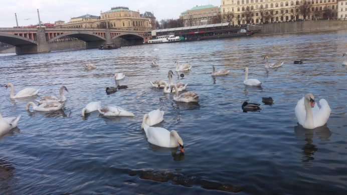 Vltava_Nehri_ve_Kuğular_Prag