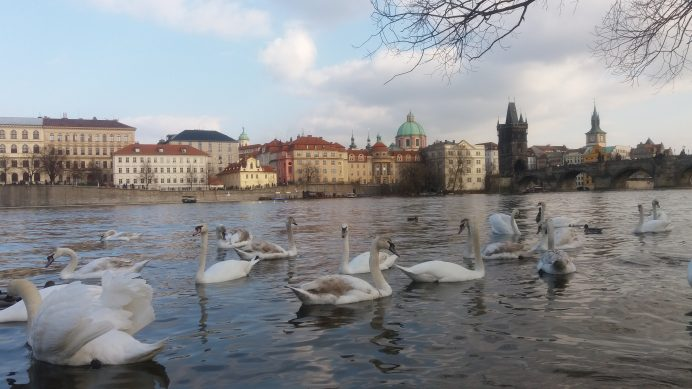 Vltava_Nehri_ile_Bütünleşmiş_olan_Kuğular