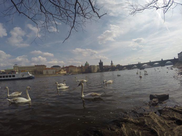 Vltava_Nehri_ve_Kuğular