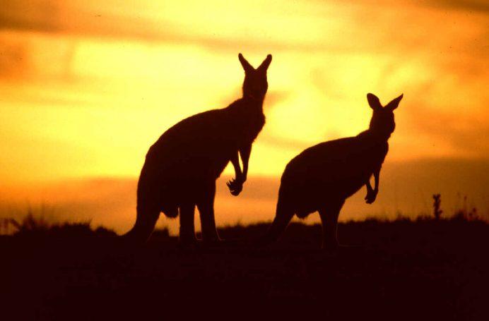 avustralya_kanguruları