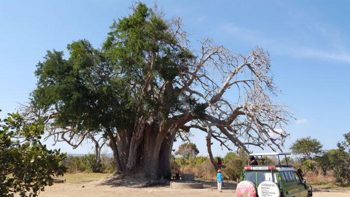 Tanzanya'nın yerel ağaçlarından Baobab ağacı.