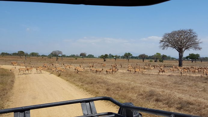 Safaride yolu kesen antiloplar.