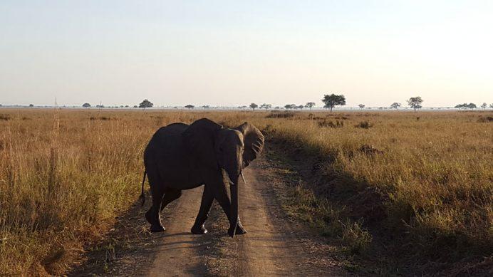 Uçsuz bucaksız Mikumi Milli Parkında bir fil.