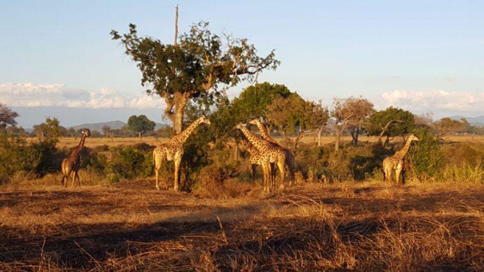 Tanzanya Mikumi'de safaride zürafalar.