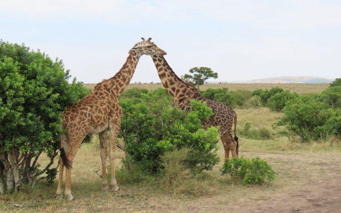 safari kenya masai mara hayvanlar zurafa